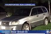 Gấu đột nhập xe hơi rồi... lái một vòng quanh phố