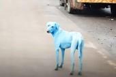 Chó ở Ấn Độ biến đổi màu lông bất thường