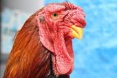 Vụ gà Đông Tảo chết hàng loạt: Bộ NN&PTNT vào cuộc
