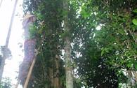 Vườn chè cổ thụ trăm tuổi Xứ Cùa