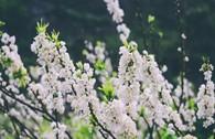 Ngẩn ngơ ngắm hoa mận nở trắng cao nguyên Mộc Châu