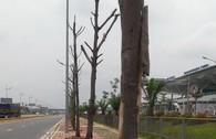 Hàng loạt cây chết khô trên đường vào sân bay Nội Bài