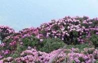 Tháng 3, leo Fansipan ngắm hoa đỗ quyên rực rỡ