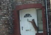 Lạ đời chú mèo biết gõ cửa trước khi vào nhà