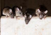 Bầy chuột 'đại náo' máy ATM, gần 400 triệu thành... giấy vụn