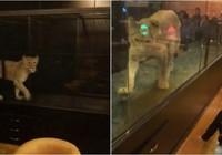 Mang cả sư tử về nhốt ở quán cà phê để hút khách