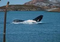 Cảm động cá voi mẹ mang theo xác con suốt 17 ngày liền