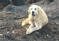 Chú chó đợi chủ 1 tháng trời sau vụ cháy rừng ở California
