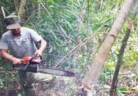 Chấm dứt dự án phá rừng nuôi bò ở Phú Yên