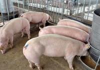 Vật nuôi lấy thịt cũng cần được đối xử nhân đạo