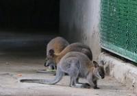 Thảo Cầm viên Sài Gòn vừa có thêm Kangaroo và sếu Nhật Bản
