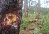 """Rừng thông Lâm Đồng lại bị """"bức tử"""" bằng hóa chất"""