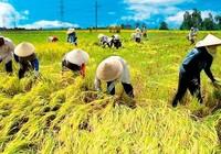 Ô nhiễm môi  trường có  làm gạo kém chất lượng?