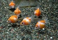 Lý thú giống cá vàng tròn như quả bóng bàn