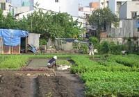Sẽ trả 50% tiền hỗ trợ dân vườn rau Lộc Hưng trước Tết