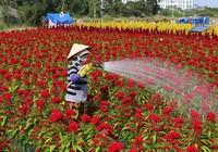 Làng hoa ven Sài Gòn hối hả đón Tết Kỷ Hợi