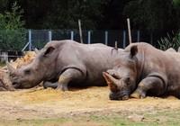 Tê giác bị bắn chết, cưa sừng ngay trong sở thú Paris