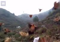 Bầy gà 'ngoan' khó tin: Nghe còi bay về như chim