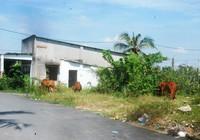 Khu đô thị lớn nhất quận 9 làm nơi chăn bò