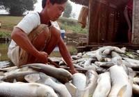 Thanh Hóa: Cá chết trắng bụng hàng chục tấn, dân chỉ biết khóc