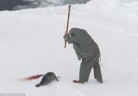 Rùng mình trước cảnh giết hải cẩu con để lấy lông ở Canada