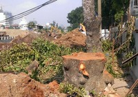 Hà Nội tiếp tục đốn hạ hàng loạt cây cổ thụ