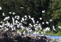 Chùm ảnh: Cò lũ lượt kéo về … bãi rác