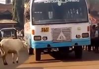 Kỳ lạ: Bò mẹ bốn năm ròng rã chặn đường xe buýt trả thù cho con