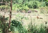 Quảng Trị: Nhóm thợ săn vất vả vì đàn trâu điên giỏi 'tránh bẫy'