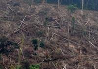 Bị hầu tòa vì hủy hoại diện tích rừng đặc biệt lớn