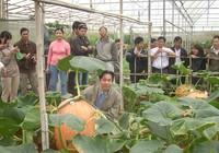 Chiêm ngưỡng những trái bí khổng lồ ở Đà Lạt