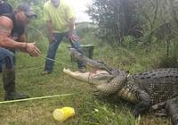 Tay không bắt cá sấu khổng lồ 3,5m