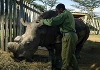 Vũ khí khủng bảo vệ 24/24 con tê giác trắng đực cuối cùng của Trái Đất