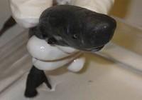 Phát hiện cá mập 'bỏ túi' tí hon