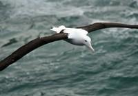 Loài chim 'khủng' có cánh dài 7 mét