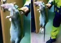 'Chuột quỷ' gây sốt cộng đồng mạng