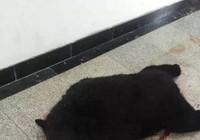 Cảnh sát bắn chết gấu đen xâm nhập một trường học