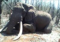 Trả 1,3 tỉ đồng để giết voi 'khổng lồ'