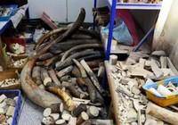 Cảnh sát Trung Quốc tịch thu 600 kg ngà voi