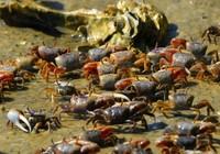 Triệu phú Trung Quốc mua 33.000 con cua thả xuống sông