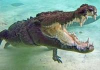 Nuôi cá sấu làm thú cưng suốt 60 năm