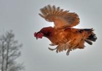 'Phi đội gà bay' theo tiếng còi của chủ