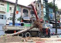 Tiếp tục đốn hạ hàng cây lim xẹt trên đường Lê Lợi