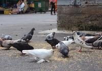 Đàn chim bồ câu và chim sẻ đặc biệt ở chợ Hòa Bình