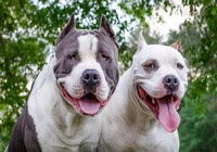 Thành phố Canada cấm nuôi chó Pit Bull
