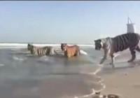 Xôn xao clip cọp tắm biển ở Dubai