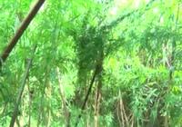 Phát hiện vườn cần sa 150 m2 ở Vĩnh Long