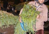 Rau nhút, rau răm trồng tại TP.HCM an toàn