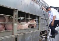 Xe chở thịt đi đường cao tốc để né kiểm tra