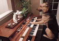 Clip chó chơi piano sành điệu